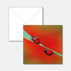 Zwei Marienkäfer auf Grashalm