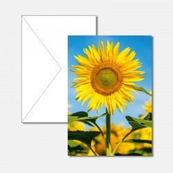 Sonnenblumenfeld mit...