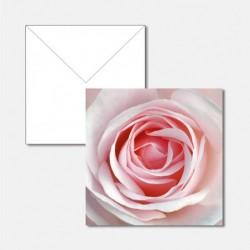 Edelrose rosa