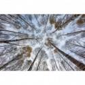Birkenwald im Herbst mit Blick nach oben