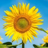 😃☀Die Sonnenblume stammt ursprünglich aus Peru und Mexiko und wurde dort als Abbild des Sonnengottes verehrt. ☀😃 Wem würdest du eine Karte mit Sonnenblumenbild senden?  . . . . . #naturverlag #grusskarte #karte #naturfoto #natur #nature #sommer #spätsommer #herbst #sonnenblume #sunflower #summer #fall #thomasheitmar #thomasheitmarfotografie #nicetoknow