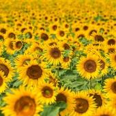🌻 Wusstest du, dass Sonnenblumen bis zu zwei Meter hoch werden? In selten Fällen schaffen sie es sogar auf bis zu drei Meter! ☀️ . . . . . #naturverlag #grusskarte #karte #naturfoto #natur #nature #sommer #spätsommer #herbst #sonnenblume #sunflower #summer #fall #thomasheitmar #thomasheitmarfotografie