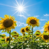 """☀🥰 """"Wer sich im Sommer über die Sonne freut, trägt sie im Winter in seinem Herzen."""" 🥰☀ Rainer Haak  Diese Woche meldet sich der Sommer nochmals zurück. Wir wünschen dir einen sonnigen Start in den Montag!  . . . . . #naturverlag #grusskarte #karte #naturfoto #natur #nature #sommer #spätsommer #herbst #sonnenblume #sunflower #summer #fall #thomasheitmar #thomasheitmarfotografie"""